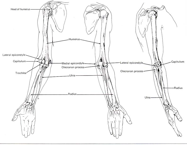 Arm bones anatomy