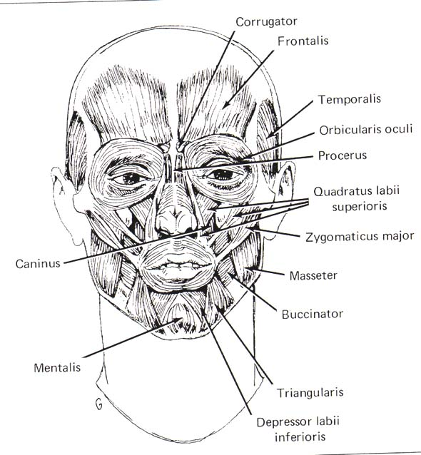 Anatomy Coloring Pages Free Facial Muscles