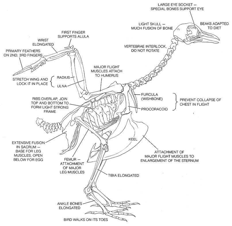 Bird foot anatomy