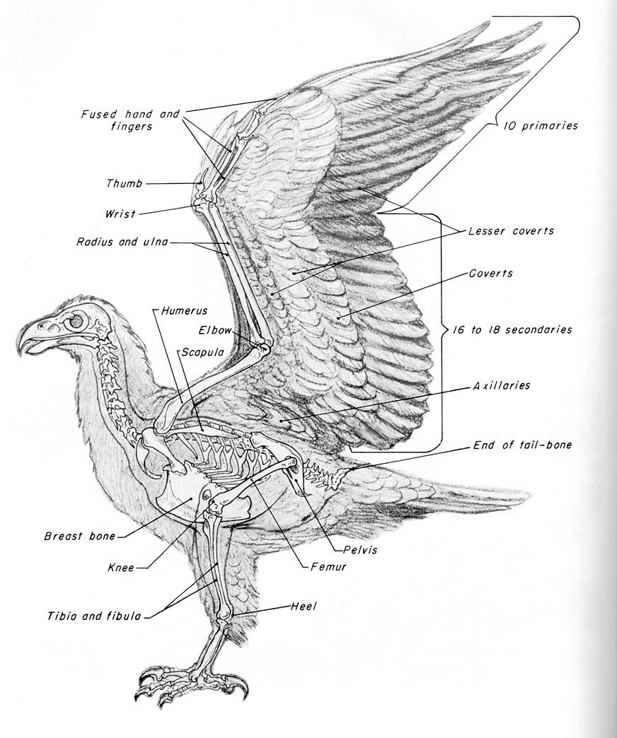 bird skeleton | Birds, Feathers | Pinterest | Skeletons, Bird and ...