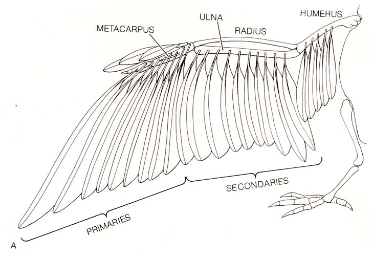 hawk muscle diagram